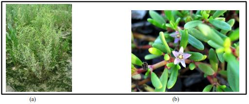 Picture of Halophytes for land restoration (a) Suaeda maritima (b) Sesuvium portulacastrum