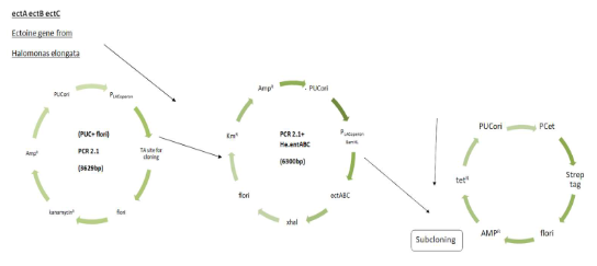 Overall diagrammatic representation of plasmid construction starting from inserting of ect ABC to the final plasmid construct